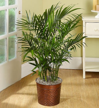 Cat Palm Floor Plant for Sympathy
