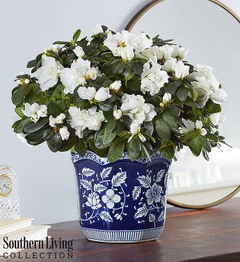 White Azalea by Southern Living®