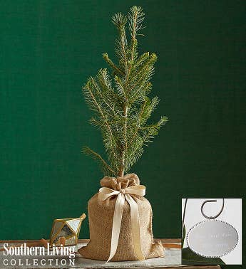 Colorado Blue Spruce Tree by Southern Living