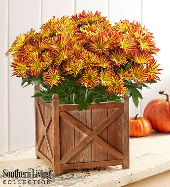 Point Pelee Fall Mum by Southern Living