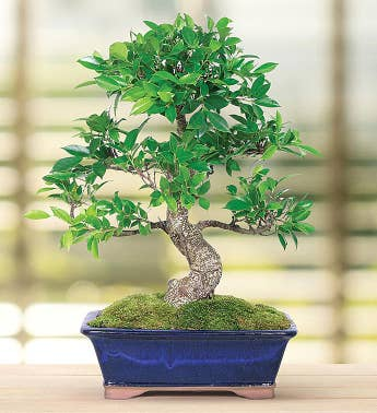 Golden Gate Ficus 10 Year Specimen Bonsai