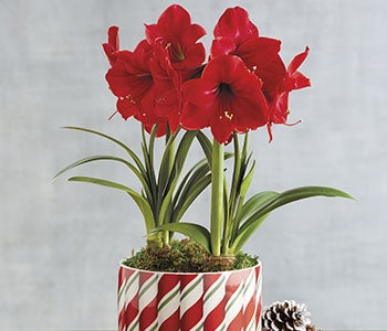 Amaryllis sale up to 50% off