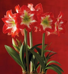 Amaryllis Bulbs - Set of Six