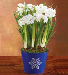 Winter Paperwhites in Blue Tin
