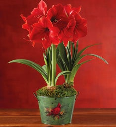 Holiday Red Lion Amaryllis