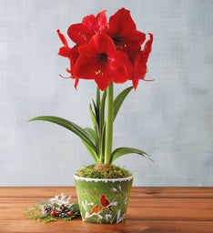 Red Lion Amaryllis Single