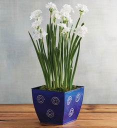 Paperwhites in Blue Tin