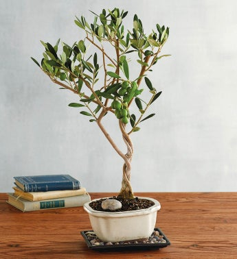 Olive Bonsai Tree Gift