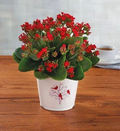 Winter Kalanchoe