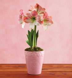 Apple Blossom Amaryllis Single