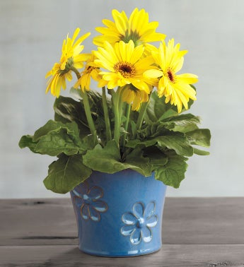 Gerbera Daisy Plant Gift SnipeImage