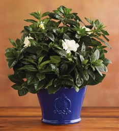 Mother's Day Gardenia