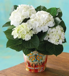 Mother's Day White Hydrangea
