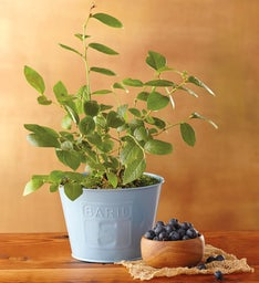 "6"" Blueberry Plant"