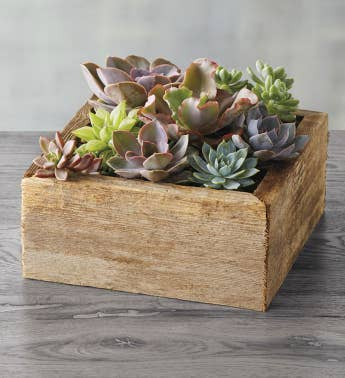 Succulents in Reclaimed Wood Planter