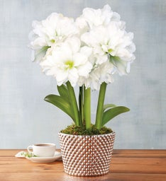 White Amaryllis Triple