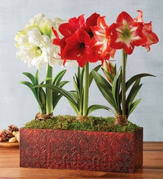Holiday Amaryllis Trio