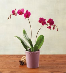 Purple Mother's Day Orchid