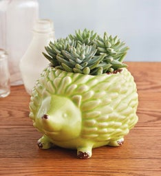 Hedgehog with Succulents