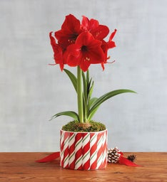 Red Amaryllis Single