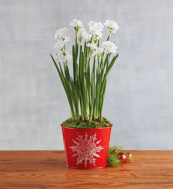 Paperwhites in Red Tin