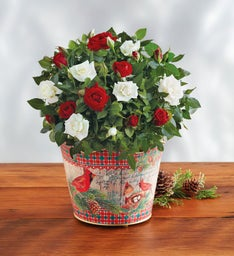 Red and White Mini Rose Duo