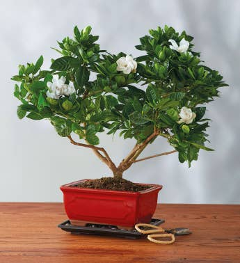 Gardenia Bonsai Tree Gift