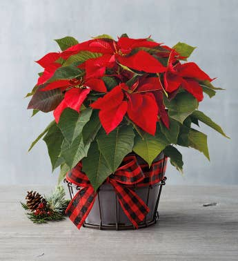 Holiday Poinsettia Gift