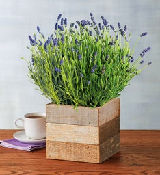 Lavender in Reclaimed Wood Box