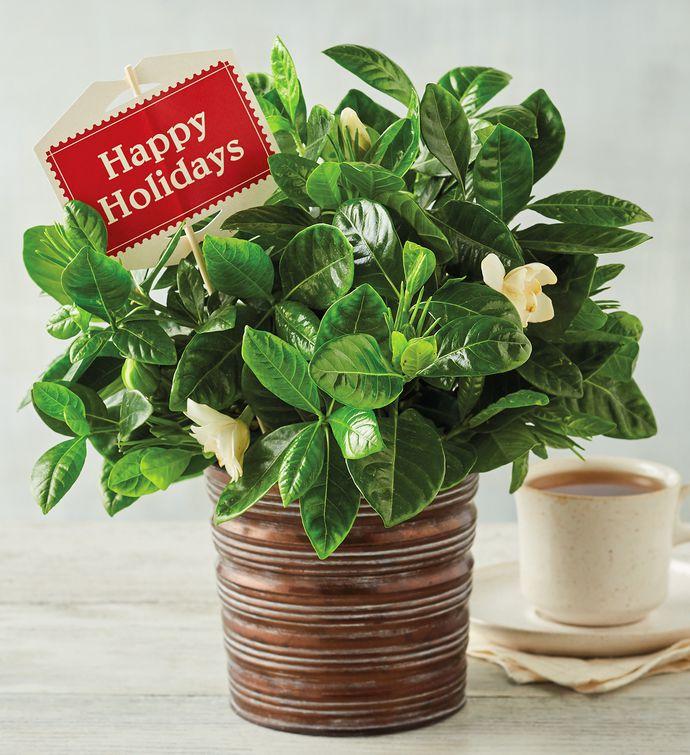 Happy Holidays Gardenia