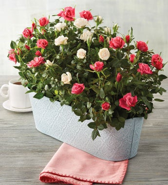 Pink Mini Rose Plant Gift Trio