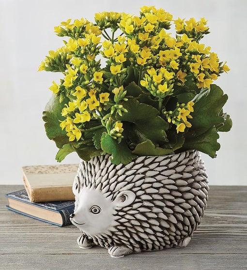 "4"" Yellow Kalanchoe in Hedgehog Planter"