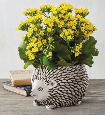 "4"" Yellow Kalanchoe in Hedgehog Planter"