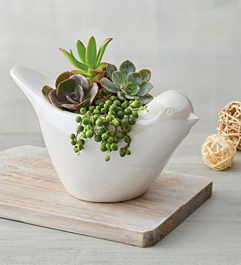 Succulents in Dove Planter