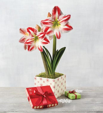 Candy Cane Amaryllis - Single