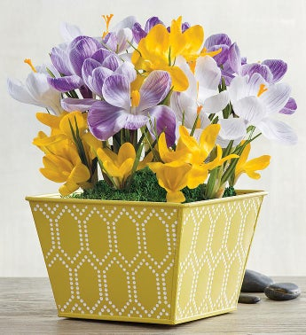 Easter Crocus Bulbs