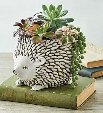 Succulent in Hedgehog