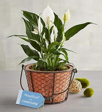 Country Living Peace Lily