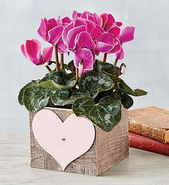 Cyclamen in Reclaimed Wood Heart Crate